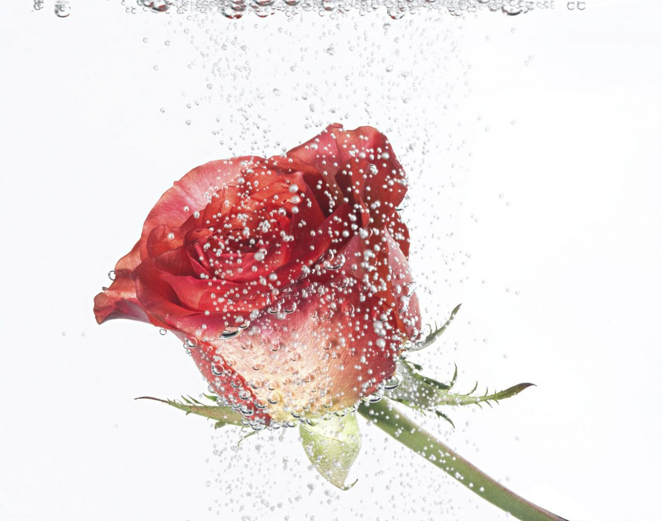Aqua Rose 4